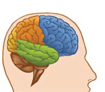 Figure 1: The frontal Cortex of the human brain is shown in blue. The temporal cortex is shown in green.  Nerve cells in these regions are damaged and die in FTLD causing profound changes in thinking and behavior.  Image source- Center for Plain Language.org